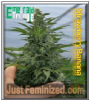 Emerald Triangle Strawberry Banana 5 Fem Seeds